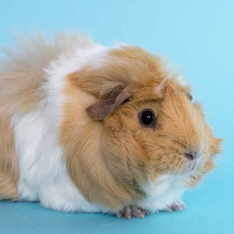 Guinea pig boarder