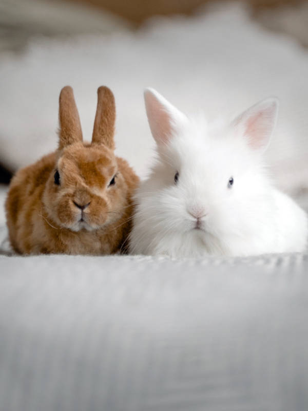 Rabbits at home looked after by pet sitter