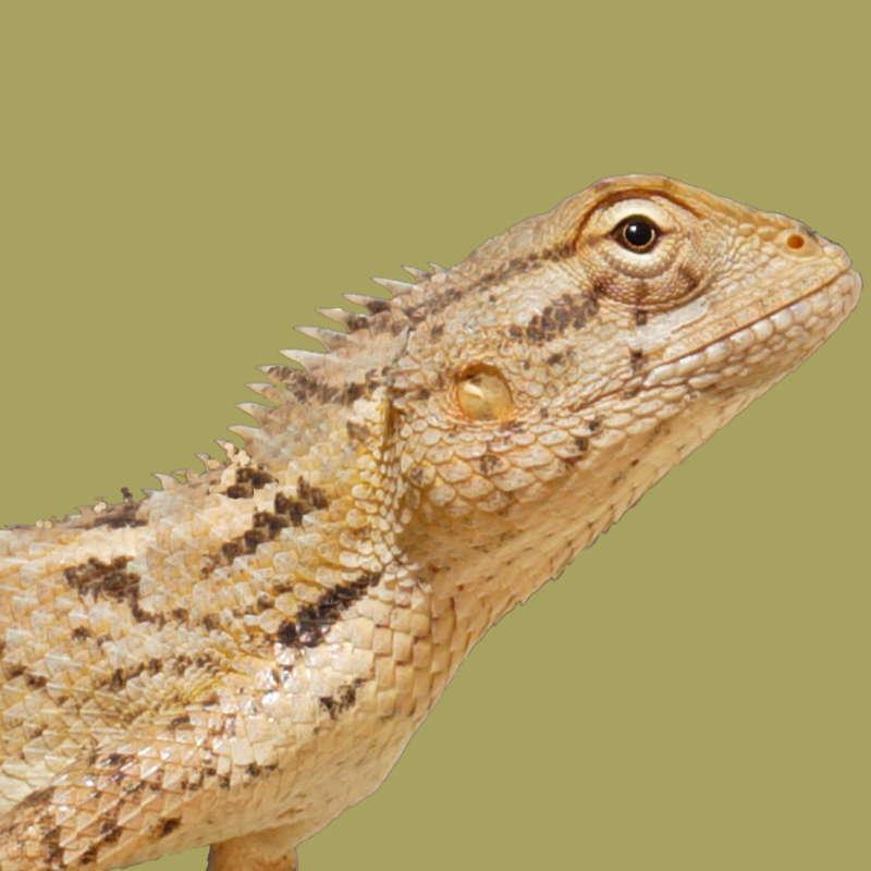 Reptile boarder