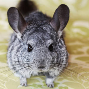Chinchilla cared for by pet sitter